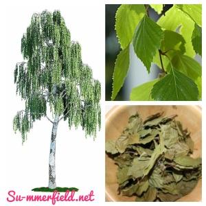 Blätter, Tee, Heilkraut